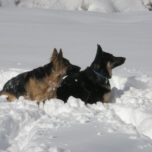 Dogs in Deep Snow