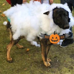 Max in halloween costume- wolf in sheep's clothing!
