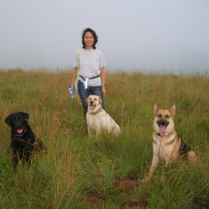 My friend Nikki and her Lab with Chaka my Lab and my GSD Sasha